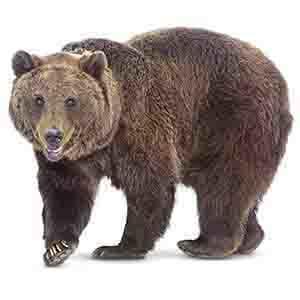 Björn i Borgafjäll